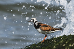 Ruddy turnstone on wave-pounded jetty