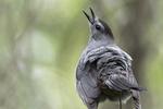 Grey catbird vocalizing