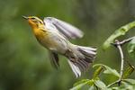 Female Blackburnian warbler in flight