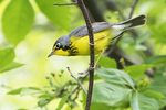 Canada warbler in spring migration