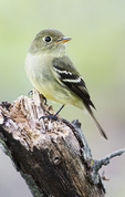 Yellow-bellied flycatcher during spring migration
