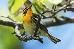 Adult male Blackburnian warbler in spring migration