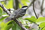 Adult male blackpoll warbler in late May