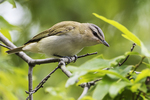 Red-eyed vireo in spring migration