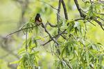 American redstart warbler in spring migration