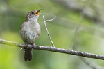 House wren singing in late May