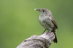 House wren with insect pupa