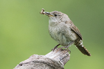 House wren with moth