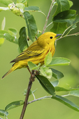 Male yellow warbler in late may