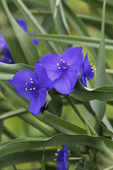 Spiderwort blooming in late May