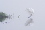 Great egret landing on a foggy morning