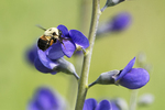 Bumblebee nectaring on blue false indigo