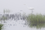 Great egret  foraging on a foggy morning