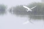 Great egret flight on a foggy morning