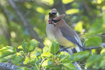 Cedar waxwings exchanging berry in courtship display