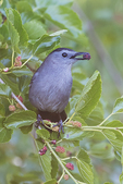Grey catbird with mulberry
