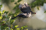 Grey catbird flight with mulberry