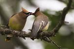 Cedar waxwings exchanging berry in courtship display, birds