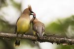 Cedar waxwings exchanging berry in courtship display