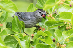 Grey catbird with mulberry in early June