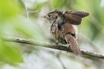 House wren wing  stretch
