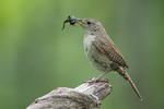 House wren with cricket