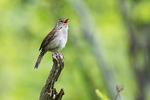 House wren singing in early June