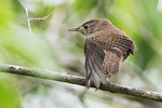 House wren wing stretch early June