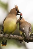 Cedar waxwing courtship behavior in early June