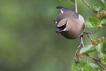 Cedar waxwing foraging in mulberry tree