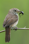 House wren with cricket early June