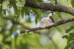 Female ruby-throated hummingbird adjusting silk strands at nest in early June