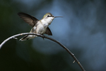 Female ruby-throated hummingbird in early June
