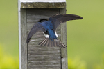 Tree swallow entering nest box in early June