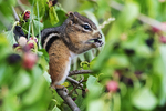 Eastern chipmunk feeding on mulberries