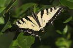 Eastern tiger swallowtail with bird-damaged wings