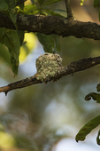 Ruby-throated hummingbird nest in early June