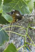 Baltimore oriole fledgling in mid-June