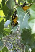 Female Baltimore oriole at nest