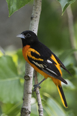 Male Baltimore oriole in mid-June