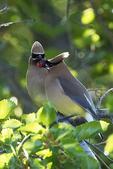 Cedar waxwing courtship behavior