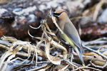 Cedar waxwing with nesting material in late June