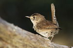 House wren in late June