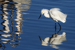 Snowy egret foraging in late June