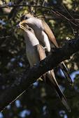 Yellow-billed cuckoo courtship behavior in late June