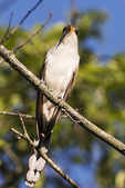 Yellow-billed cuckoo  in late June