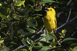 Yellow warbler singing in late June