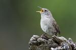 House wren singing near nest in late June