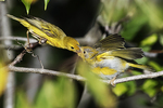 Female yellow warbler feeding fledgling yellow warbler chick in late June