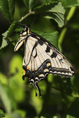 Eastern tiger swallowtail in early July